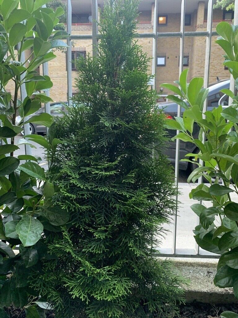 Chamaecyparis Lawsonianna Stardust Compact Evergreen Cypress