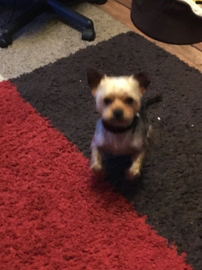 ADORABLE 2YEAR OLD YORKIE FOR SALE £200