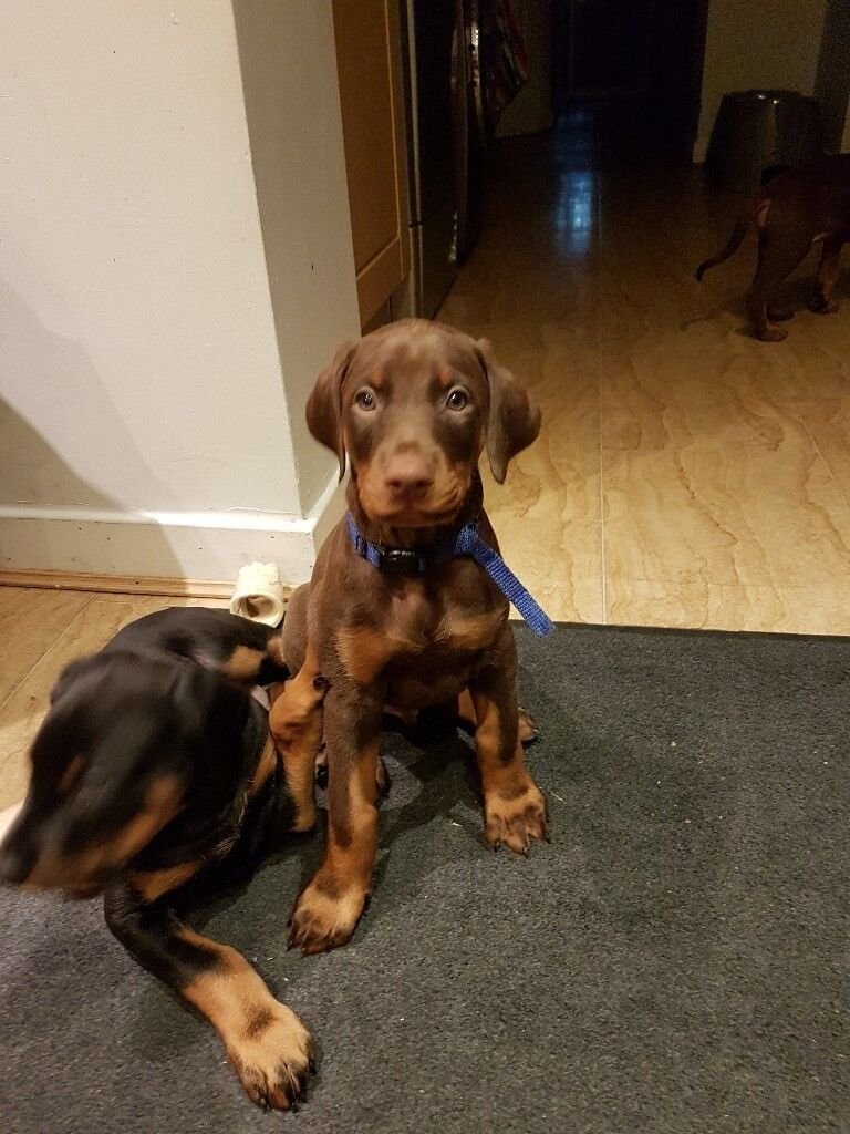 Stunning doberman puppy for sale.   in France