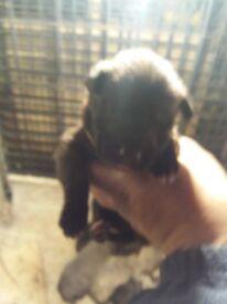 Bedlington x pups