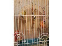 1 pair of canaries for sale