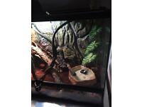 Mountain Horned Dragon & Full SetUp For Sale