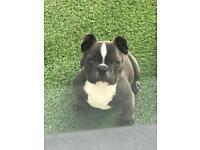 💎💎 Blue male french bulldog Kc reg💎💎