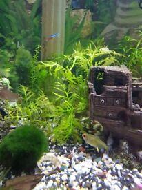 Water wisteria aquarium plant