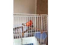 Red Canary for sale with cage