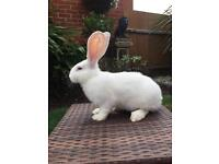 Stunning pure breed giant continental rabbits only 2 left!!!!