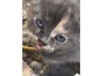Adorable blue kitten
