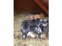 Baby mini lops and baby neitherland rabbits