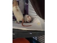 Rats looking for a loving home