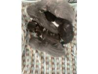 Beautiful grey kittens for sale