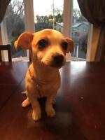 Chihuahua femelle 4 mois