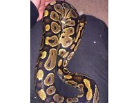 Male yellowbelly royal python
