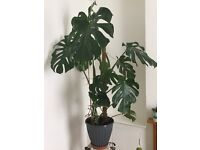 Monstera Deliciosa - Swiss Cheese Plant 1.3m Tall - Real indoor Plant.
