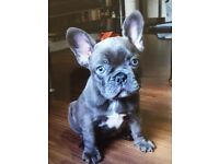 GORGEOUS CHUNKY KC REG FRENCH BULLDOG PUPPY FOR SALE