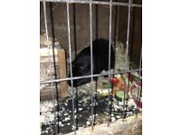 2 male guinea pigs, cages and accessories