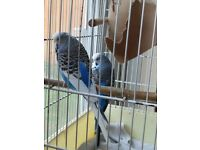 Budgie, very healthy, Sky Blue Colour. Young Budgies in pair