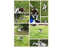 Well marked Sprocker Spaniel Puppies