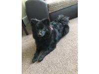 Black Pomeranian Puppy, 7months old, male