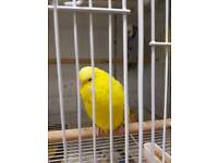 Young Budgies and Cages for sale