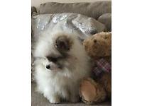 Tiny Pomeranian Girl for Sale