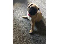 Pug girl