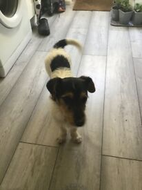 8 month old gorgeous Jack Russell
