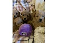 4 Westiepoo / Wee-Poo Puppys F1 both mum dad KC pedigree and tested, 1 SOLD