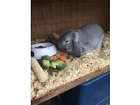 Male adult mini Lop Rabbit