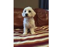 Beautiful Maltipoo Puppy- looking for forever home