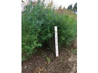 Privet Hedging Plants