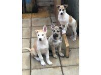 Husky & African Mastiff Crossbreed Puppies