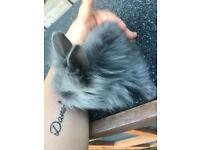 Baby rabbit, bunny, doe, female lionhead