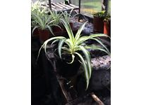 Young and vigorous spider plants decorative for indoors