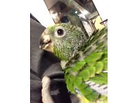 Hand reared baby Yellow crown Amazon parrot