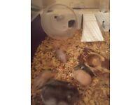Baby Russian dwarf hamsters £5 each