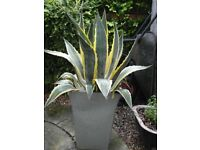 Stunning agave americana - plant suitable for indoors or outdoors