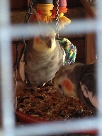 Avairy closure cockatiels small quails forsale
