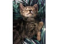 Last Male Kitten