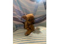 Chihuahua puppies All girl litter