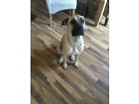 American bulldog cross bull mastiff Puppy Looking for a forever loving home