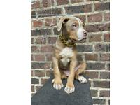 American XL bully puppy's for sale ABKC REGISTERED - £3500 ONO