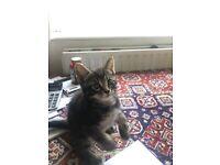 Tabby Little and beautiful boy kitten