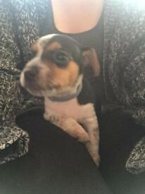Jackrussel puppies back up from sale
