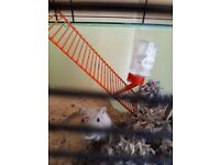 Cute 6 month old female active friendly gerbil. £5. Gerbilarium £10