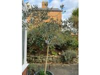 15ft olive tree(approximately)