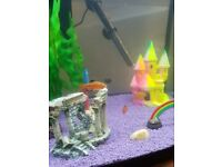 3 Rosy Barbs in perfect health