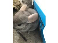 2 HANDSOME CHINCHILLAS - FATHER AND SON FOR SALE SELLING DUE TO RELOCATION.