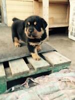 Rotti pups for sale