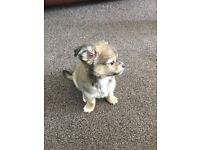 Chihuahua puppy pedigree