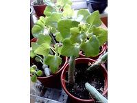 Senecio Articulatus, Candle plant flower house plant succulent cacti
